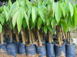 prodi pembibitan tanaman perkebunan karet