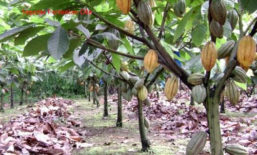 Teknologi Produksi Tanaman Perkebunan Penyegar Presisi (KAKAO)